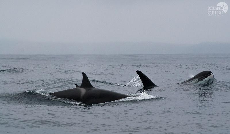 Aparecen cien ballenas muertas en Nueva Zelanda, rodeadas por tiburones